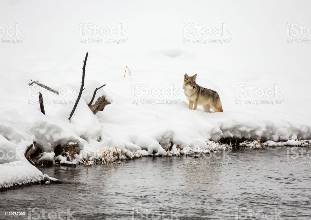 Coyote in the snow, Yellowstone - Royalty-free Animal Wildlife Stock Photo