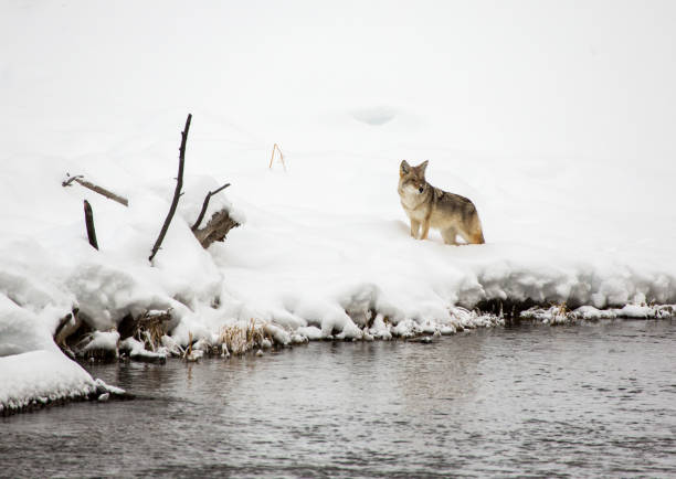 Coyote in the snow, Yellowstone stock photo