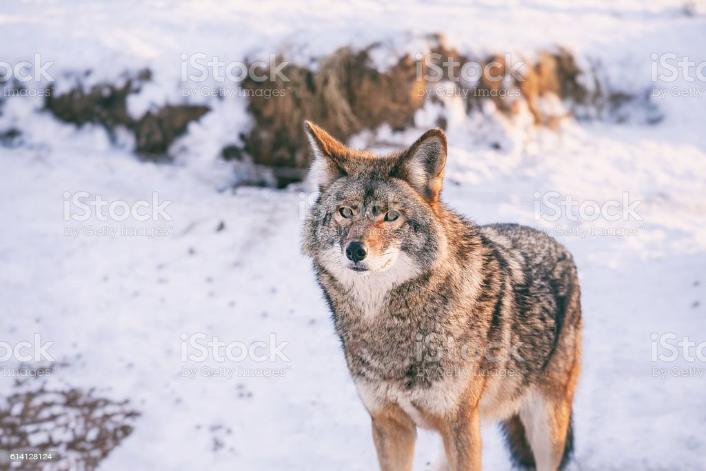 Coyote in winter at Omega park, Quebec, Canada stock photo