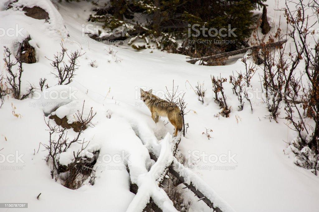 Coyote in Yellowstone - Royalty-free Animal Wildlife Stock Photo