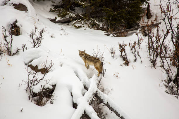 Coyote in Yellowstone stock photo