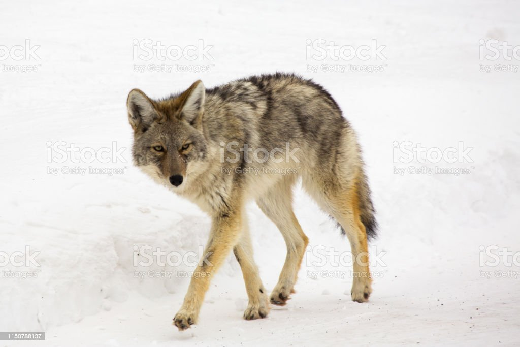 Coyote in Yellowstone - Royalty-free Animal Wildlife Stock Photo