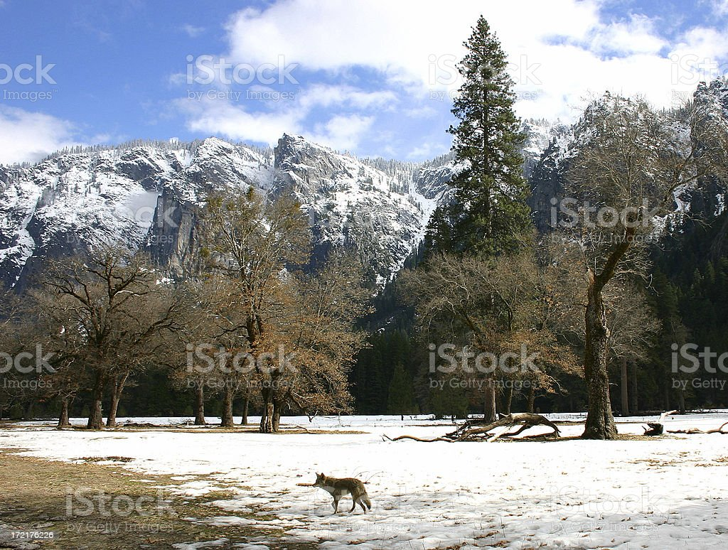 Coyote in Yosemite Valley royalty-free stock photo