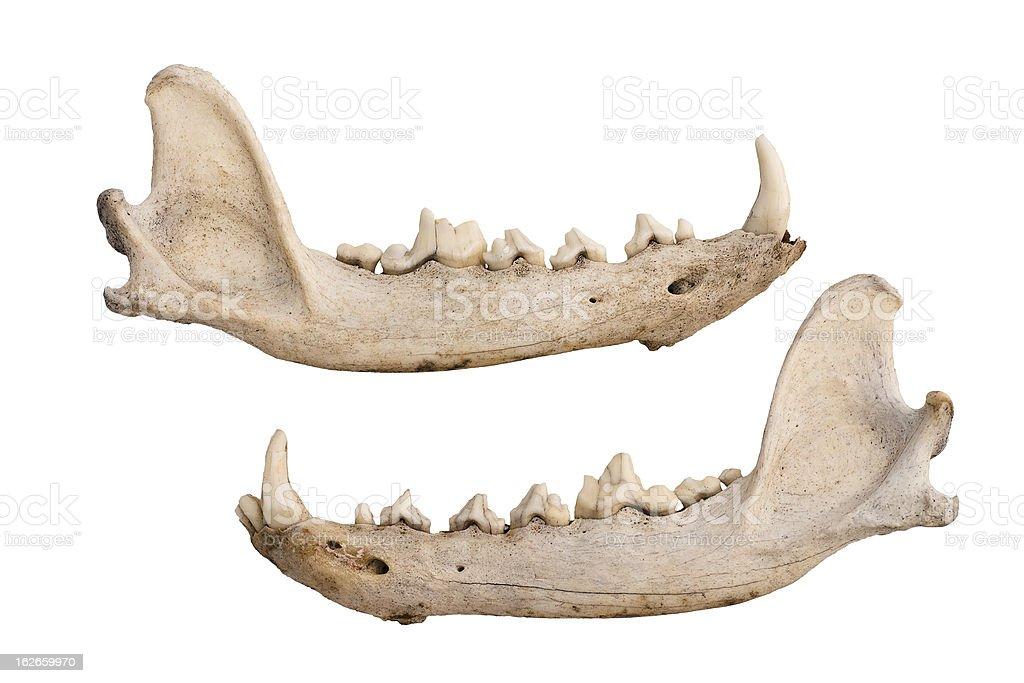 Kojote Kiefer Knochen Stock-Fotografie und mehr Bilder von Anatomie ...