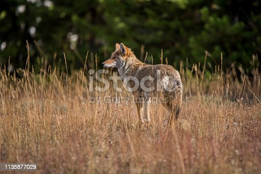 Coyote just looking, contemplating next move.