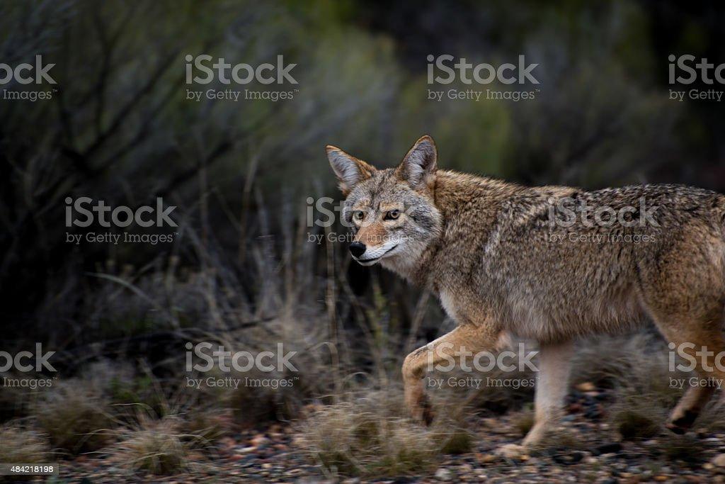 Coyote Looking at camera stock photo