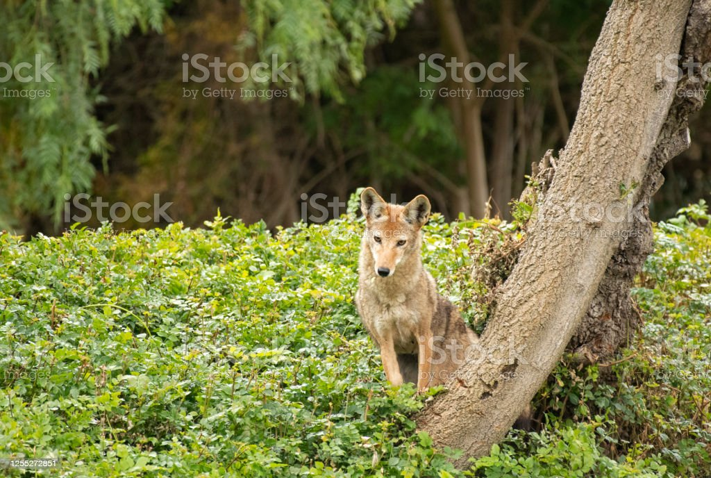 Coyote Looking With Curiosity coyote next to tree Alertness Stock Photo