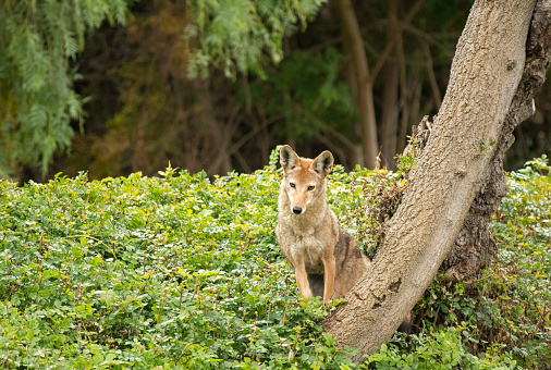 Coyote Looking With Curiosity Stock Photo - Download Image Now