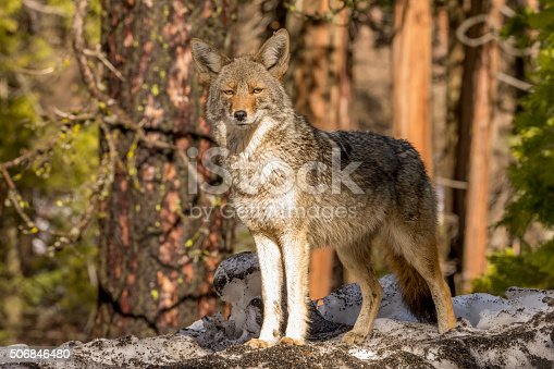 Coyote (Canis latrans) in the snow Looks forward - captive animal