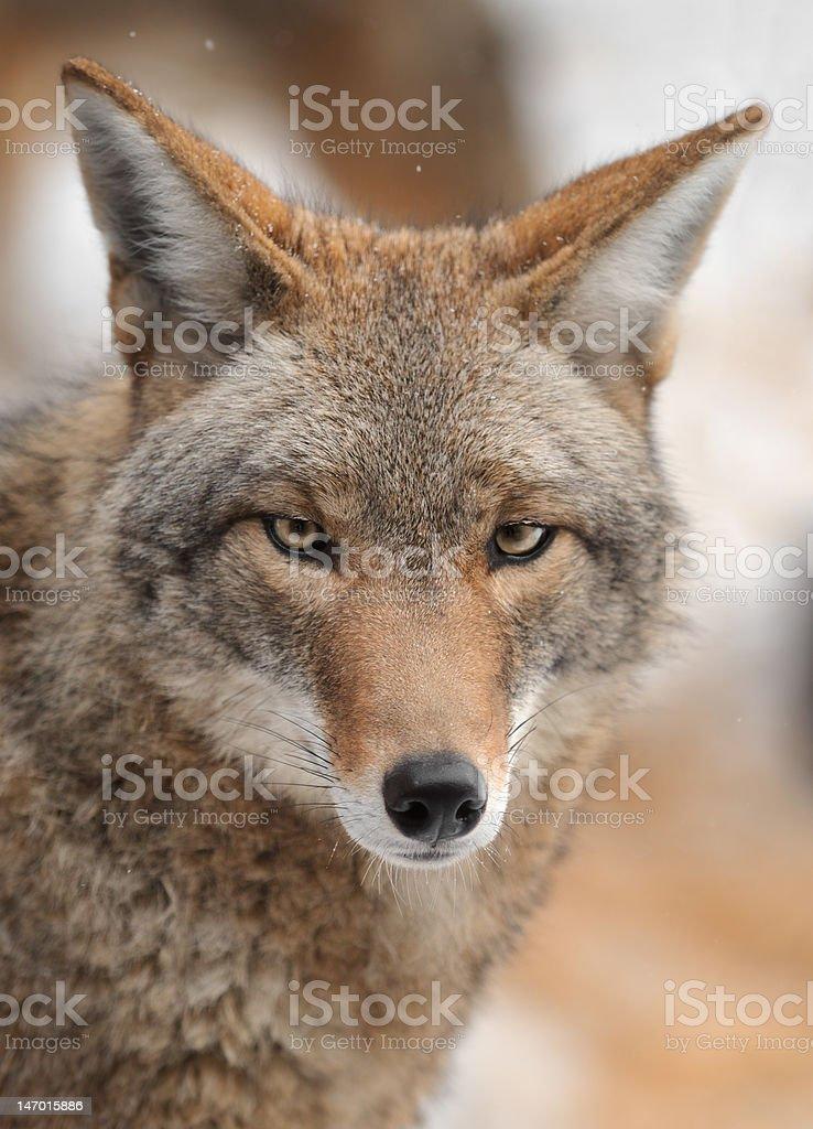 Coyote (Canis latrans) Looks forward stock photo