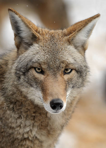 Coyote (Canis latrans) Looks forward stock photo