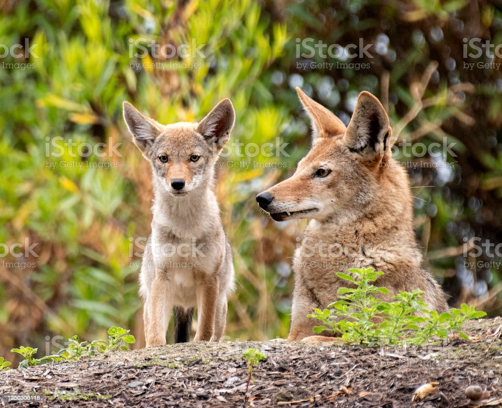 Coyote Mother and Pup Coyote Mother and Young On Hill Animal Stock Photo