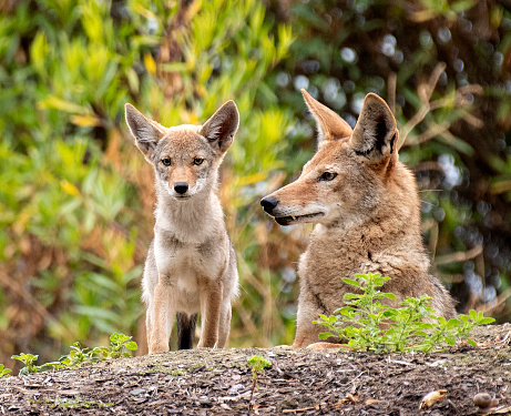 Coyote Mother And Pup Stock Photo - Download Image Now