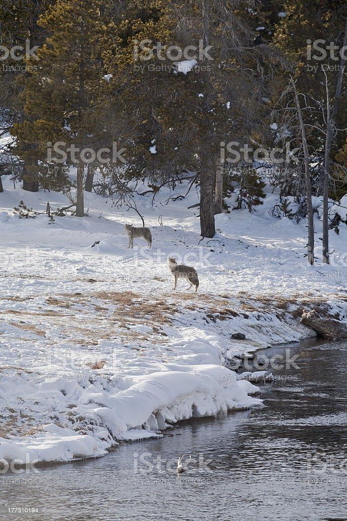 Coyote near Elk Kill, Firehole River, Winter, Yellowstone NP stock photo