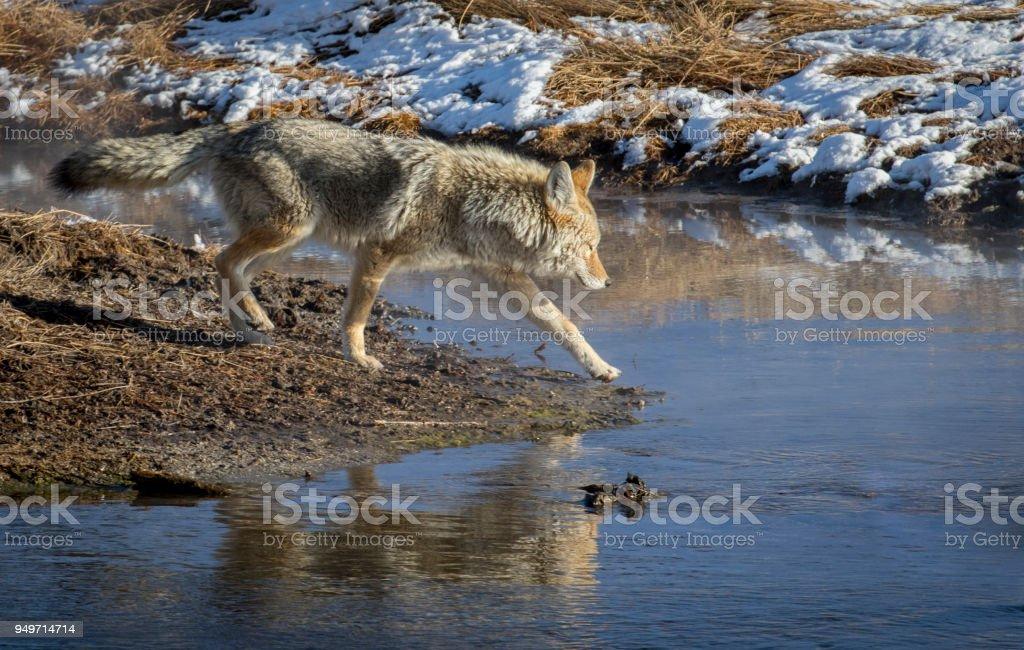 Kojote am Ufer eines Flusses zu Fuß ins Wasser – Foto