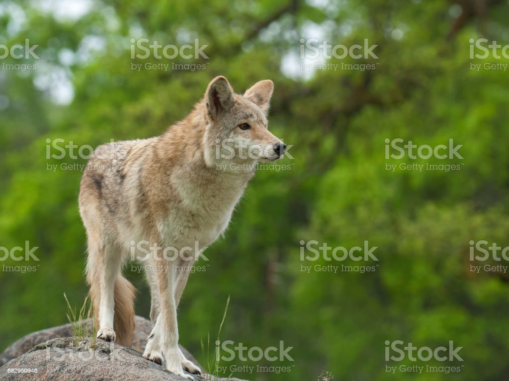 Coyote on rock searching for next meal with green trees in background royalty-free stock photo