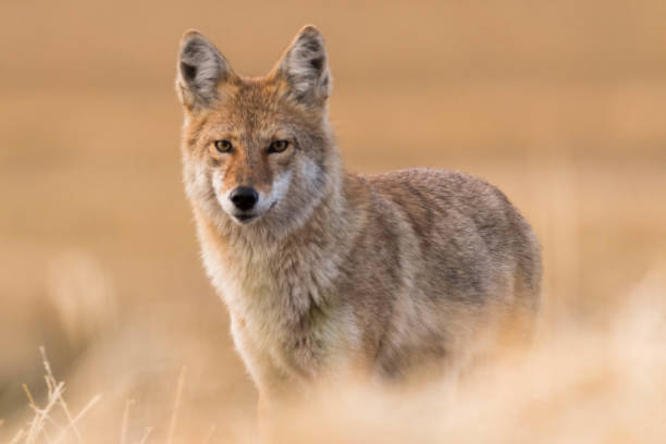 Coyote on the Prairies in Autumn stock photo