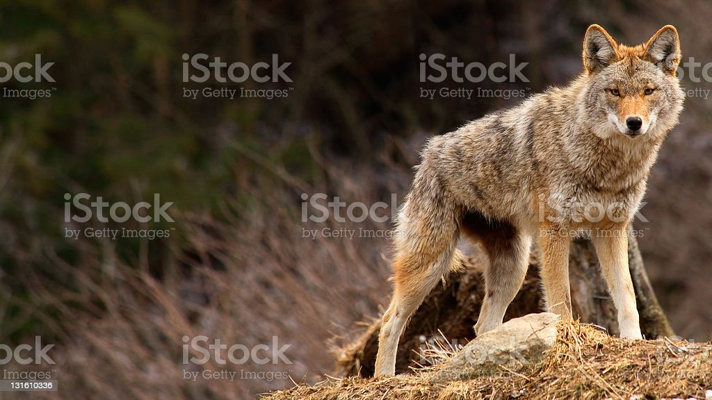 Coyote on Top of a Hill royalty-free stock photo