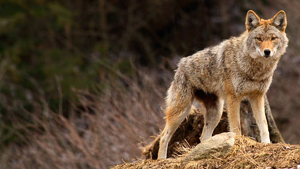 Coyote on Top of a Hill stock photo