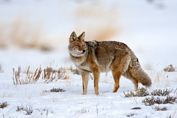 Coyote (Yellowstone NP) stock photo