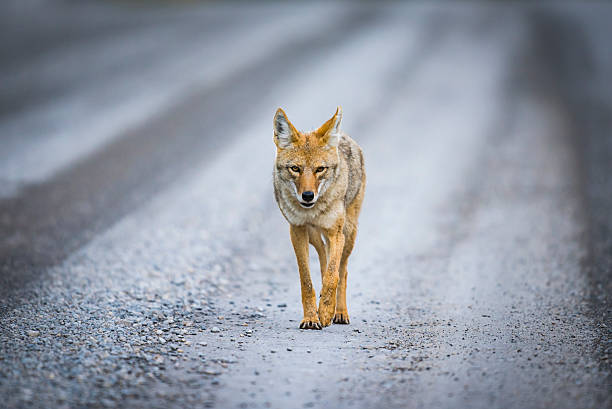 Coyote (Canis Latrans) stock photo
