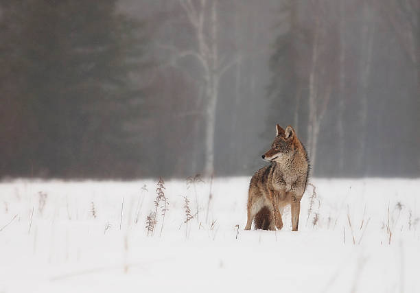 Best Coyote Stock Photos, Pictures & Royalty-Free Images