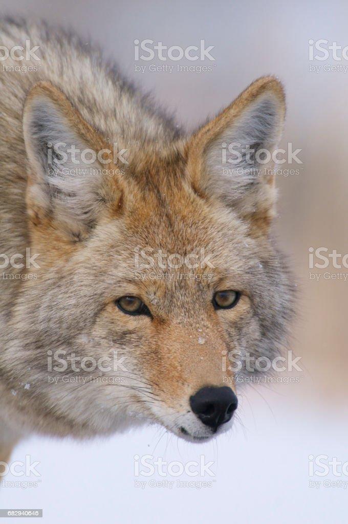 Coyote foto de stock libre de derechos