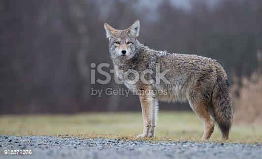A coyote in British Columbia, Canada.