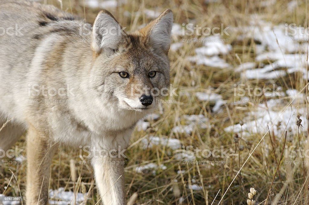 Coyote royalty-free stock photo