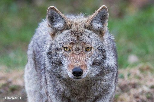 coyote portrait in spring