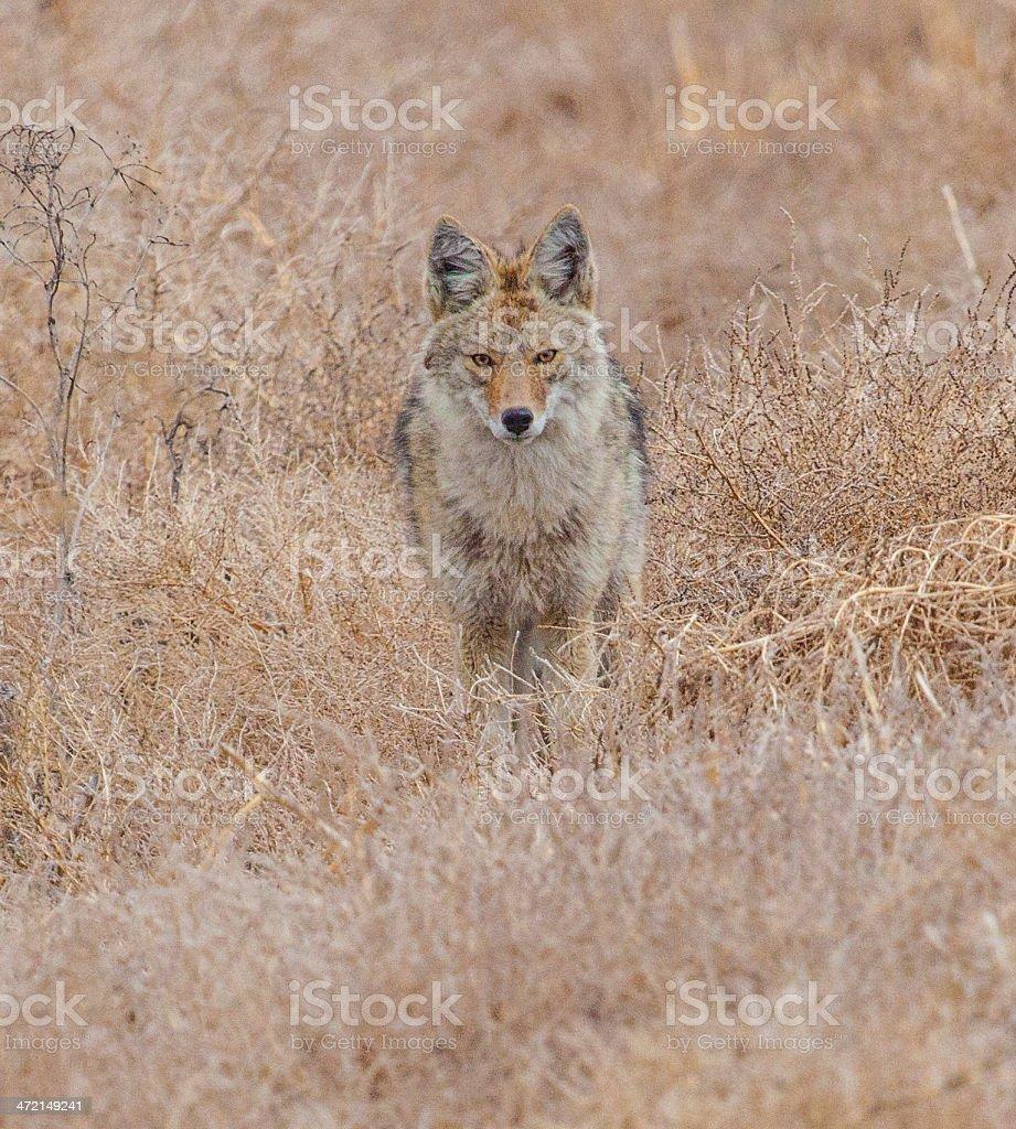 Coyote portrait stock photo
