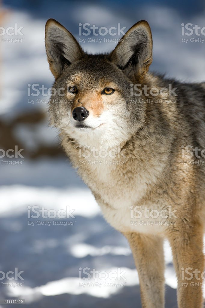 Coyote portrait standing in winter snow. royalty-free stock photo