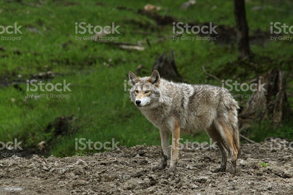 Coyote Posing royalty-free stock photo
