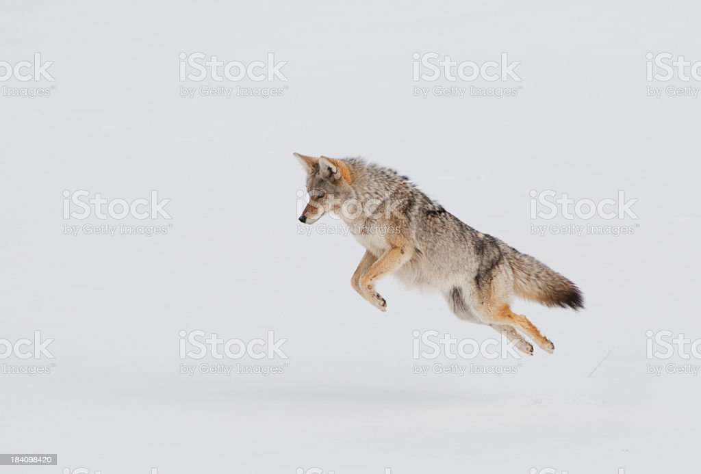 Coyote Pouncing in Snow - Yellowstone NP royalty-free stock photo