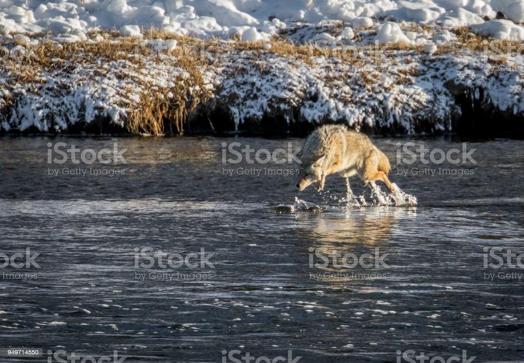 Coyote stürzen sich auf einen Fisch im Fluss – Foto