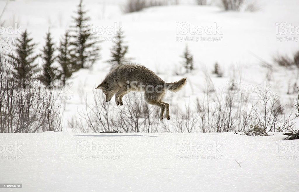 Coyote pouncing royalty-free stock photo