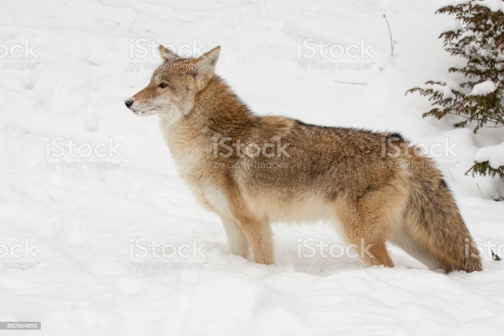 Coyote, profile,  standing in snow with evergreen trees in background royalty-free stock photo