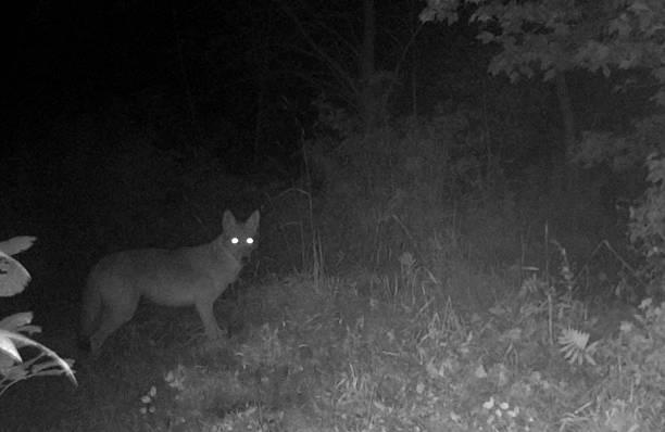 coyote prowls at night - djuröga bildbanksfoton och bilder