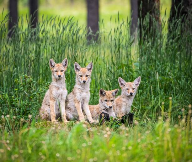 Coyote puppies in Canmore, Alberta Curious coyote pups await the return of their mother by the entrance to their den. animal family stock pictures, royalty-free photos & images