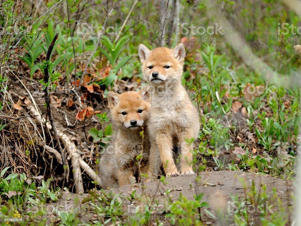 Coyote pups stock photo