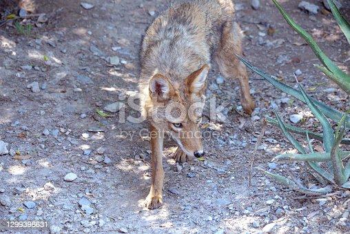 istock Coyote resting in Durango Mexico 1299396631