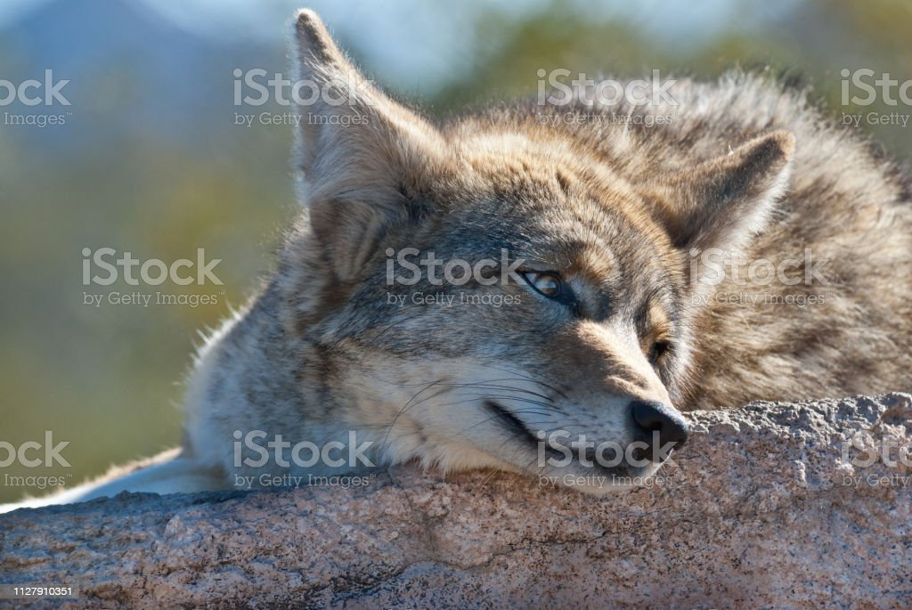 Coyote Resting on a Rock stock photo
