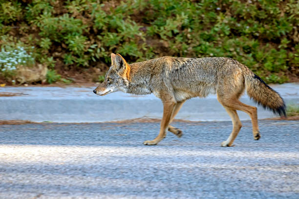 Coyote roaming the streets of Southern California. stock photo