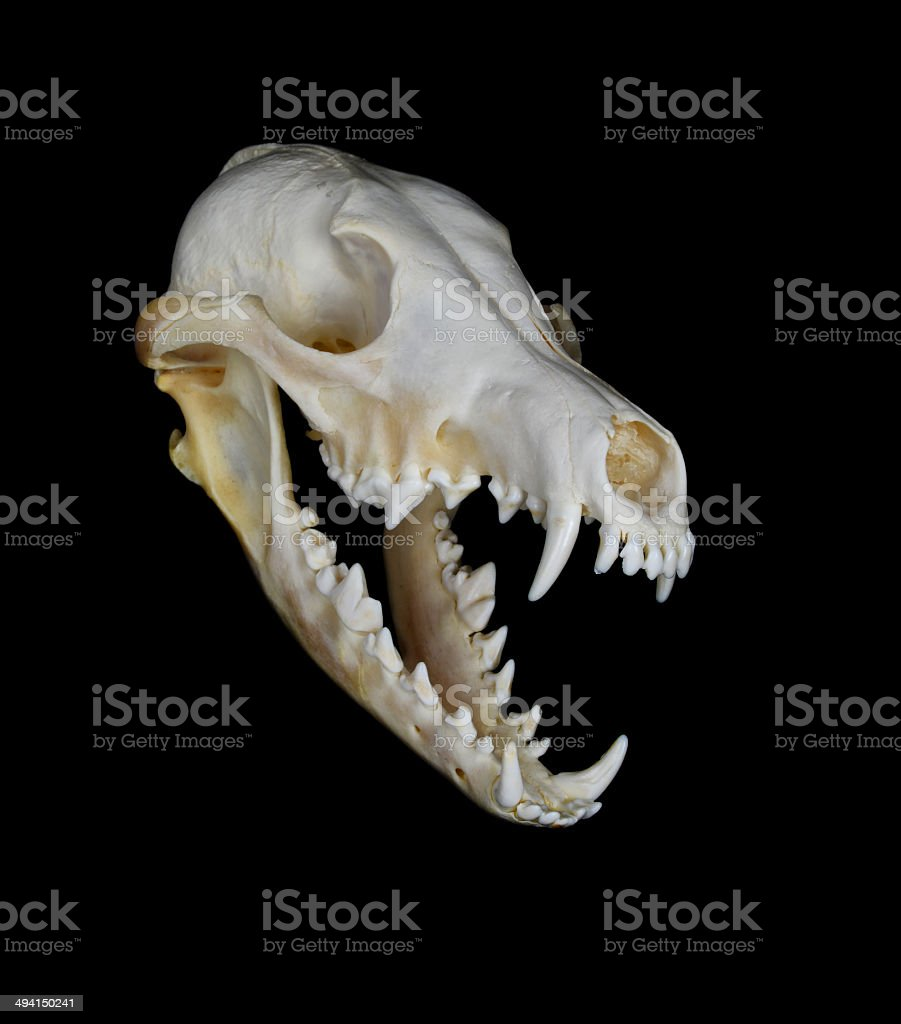 Coyote Skull stock photo