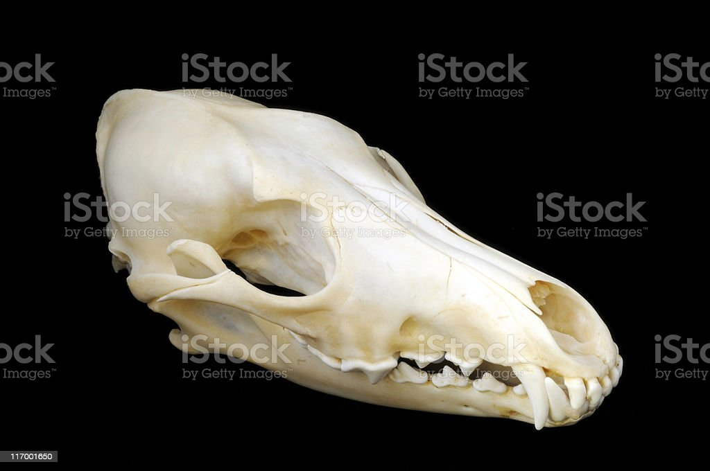 Coyote Skull Side View Stock Photo - Download Image Now - iStock