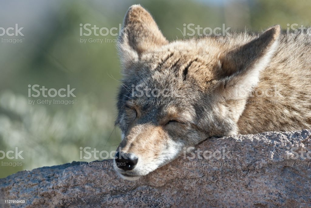 Coyote Sleeping on a Rock stock photo