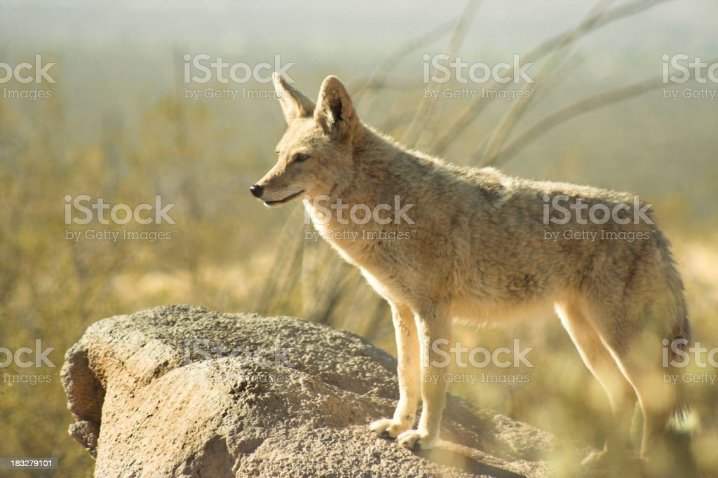 Coyote standing on a rock in an arid place stock photo