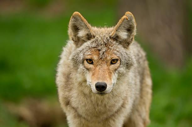 Coyote Stare stock photo