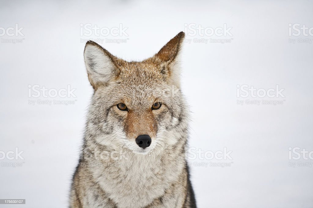 Coyote staring with a snowy background royalty-free stock photo