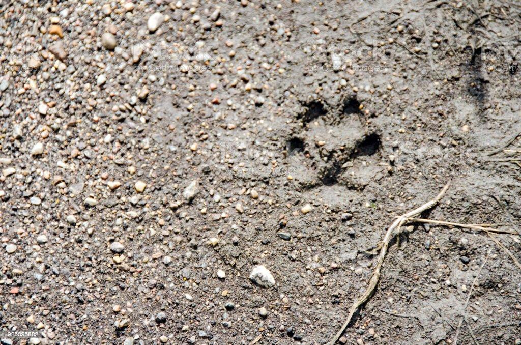 Coyote Tracks In Mud